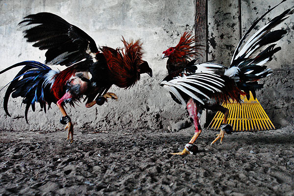 cockfighting-colombia-01.jpg